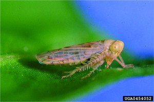 EPP-7313Adult leafhopper