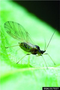 EPP-7313Green peach aphid adult