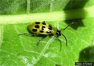 EPP-7313Spotted cucumber beetle