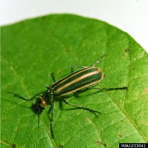 EPP-7313Striped blister beetle