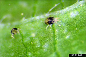 EPP-7313two spotted spider mites