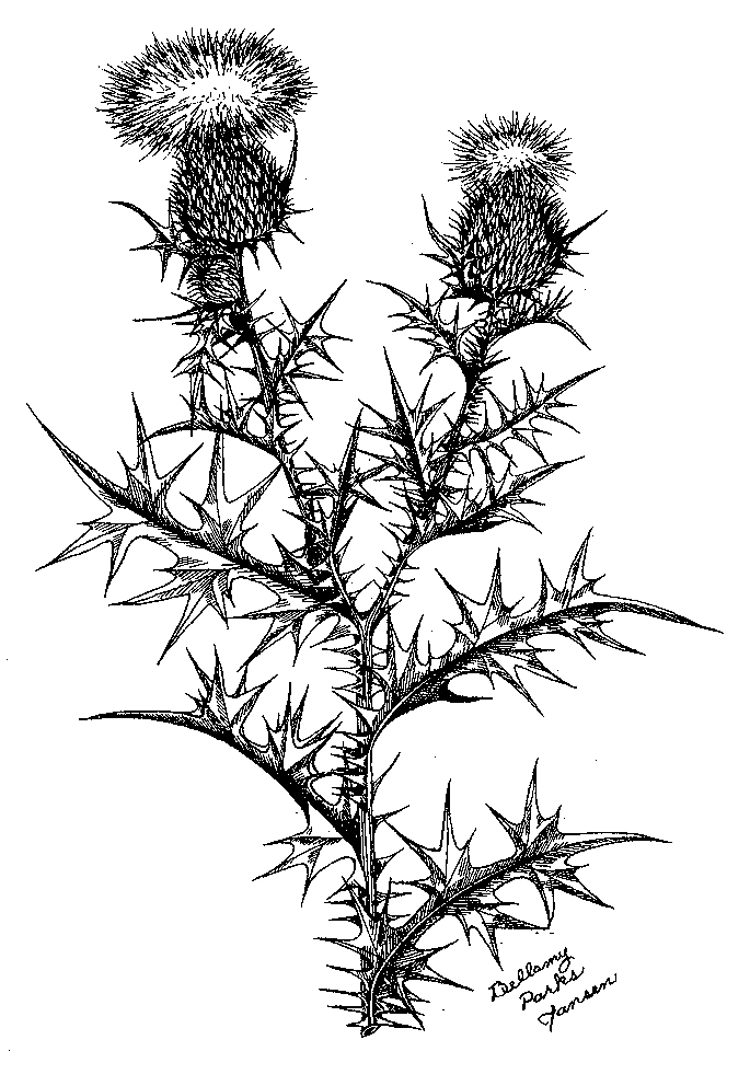 Rose Flower Drawing PSS-2776 Thistles in O...