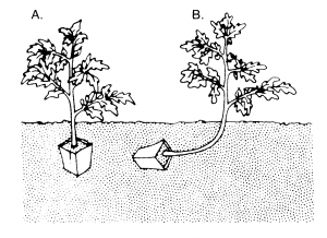 Figure 1. Plant tomatoes slightly deeper than they were first growing (A). If plants are leggy set them as shown (B).