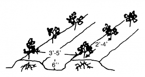 Figure 2. Tomatoes grow best on beds raised to about six inches. Leave enough spacing between rows and plants. For bush varieties that will not be staked or caged, leave two to four feet between plants, and leave three to five feet between rows.
