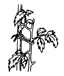 Figure 3. Tomato plants should be tied loosely to support stakes.