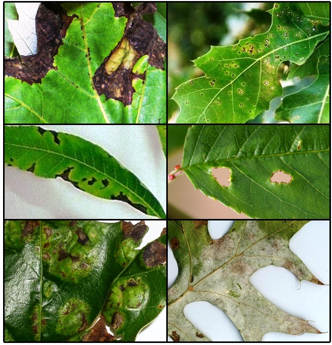 Epp 7634 Anthracnose And Other Common Leaf Diseases Of Deciduous