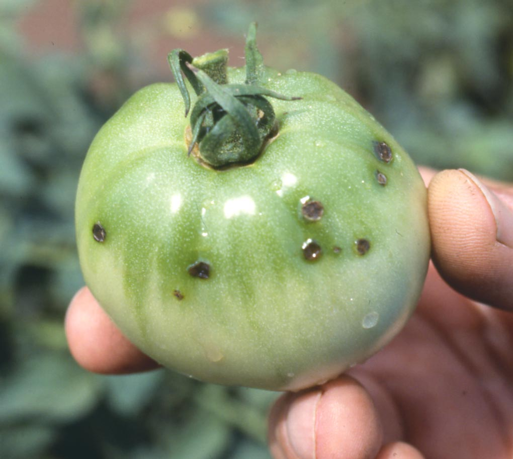 Exclude diseases of tomatoes from a lack or excess of nitrogen, potassium and phosphorus 50