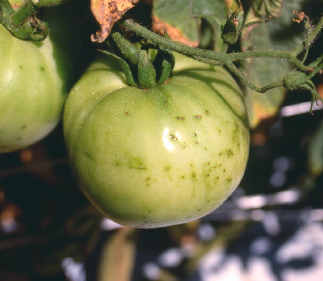 EPP-7626 Common Diseases of Tomatoes- Part II: Diseases