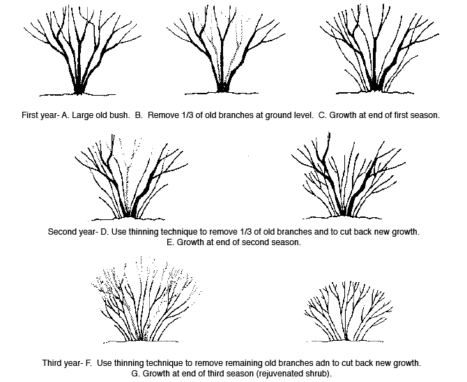 thinning cuts of shrubs related keywords