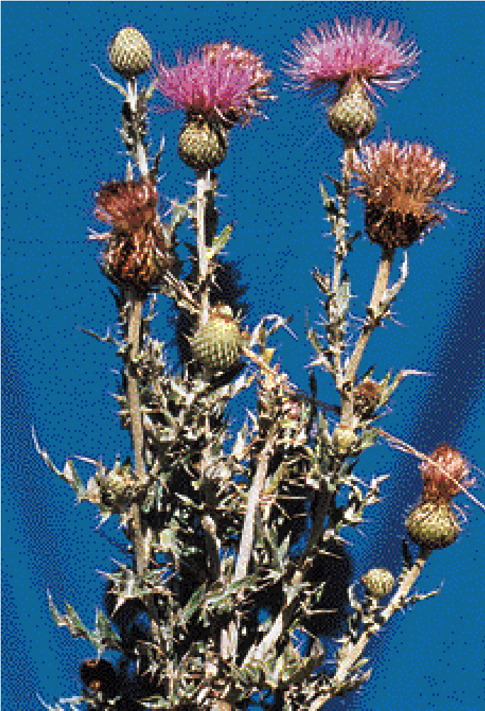 PSS-2776 Thistles in Oklahoma and Their Identification » OSU
